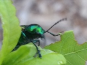 Irridecent beetle
