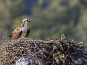 Newly Hatched Osprey Chicks