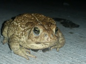 Woodhouse toad in a puddle