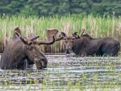 Bull Moose hanging out together.