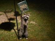 Midnight bandit caught red handed
