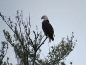 Webster Lake Eagles