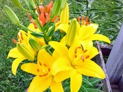 Yellow Stargazer Lily