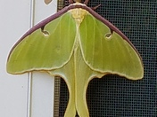 Luna moth hanging out in New London