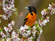 Baltimore Oriole and Blossoms