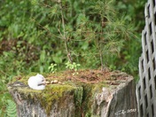 I captured this Albino Chipmunk this past weekend in my backyard in Loudon NH