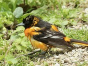 "Baltimore Oriole  "" after the bath """