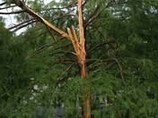 Lightning hit a bald cypress tree in the neighbors yard last night.