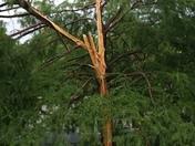 Lightning hit a bald cypress tree in the neighbors yard last night.