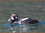 Harlequin Duck (m)