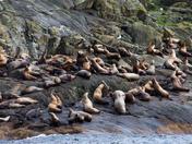 Haida Gwaii  Steller Sea Lions