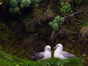 Fulmars Courting