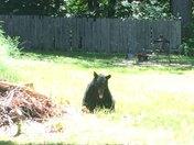 Black bear in my neighbor's yard in Athol, MA