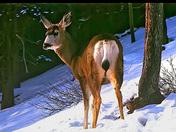 White tail deer - Gatineau Park