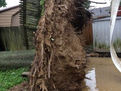 This is a huge tree in the yard behind my daughter's house