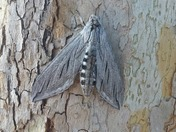 Huge spinx moth camoflauged on a tree