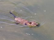 Muskrat swimming right by me