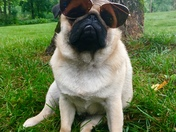 Happy National Sunglasses Day from Pumpkin the Pug