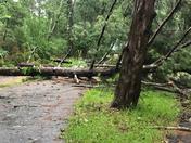 Strong wind took down a huge oak tree