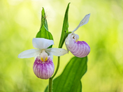 Showy lady's slippers