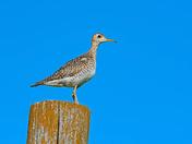 Shorebird in an ocean of grass