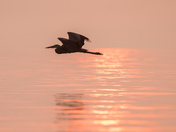 Heron Dawn