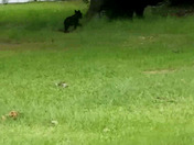 Mama bear and 3 cubs in Pumpkintown, SC