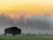 Bison in Morning Fog