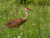 Sandhill Crane/Manitoulin Island On