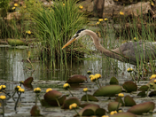 Blue Heron/Wiarton On