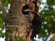 Pileated Woodpecker Feeding Baby