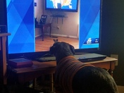 This is my girl Willow watching dogs watching John Cessarich