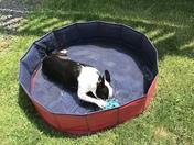 Bryn the Boston Terrier