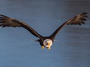 Bald Eagle - Gangway!
