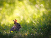 RG_158 | Rabbit