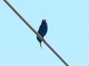 Blue  Bird   (M)