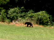 Black Bear in Sherwood Forest in Anderson SC