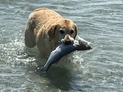 Zoe, my 6 year old yellow lab went fishing at Browns Bank, a sand bar in Plymouth, MA.