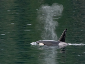 Orca from the Ferry