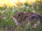 RG_159 | Rabbit