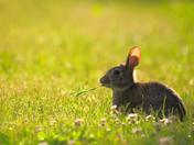 RG_161 | Rabbit