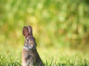 RG_162 | Rabbit
