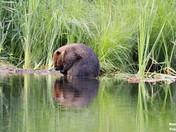 Beaver at the Marsh