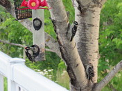 3 baby woodpeckers