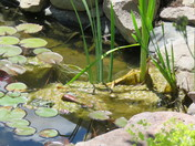 two frogs in my pond