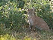 My cousin saw this big cat out by Winterset today!