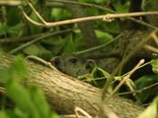Camouflaged Woodchuck