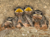 Young Barn Swallows (3329)