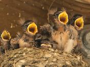 Barn Swallows (1196)