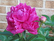 Beautiful, Two Stages of Peonies, The Bloom and the Bud